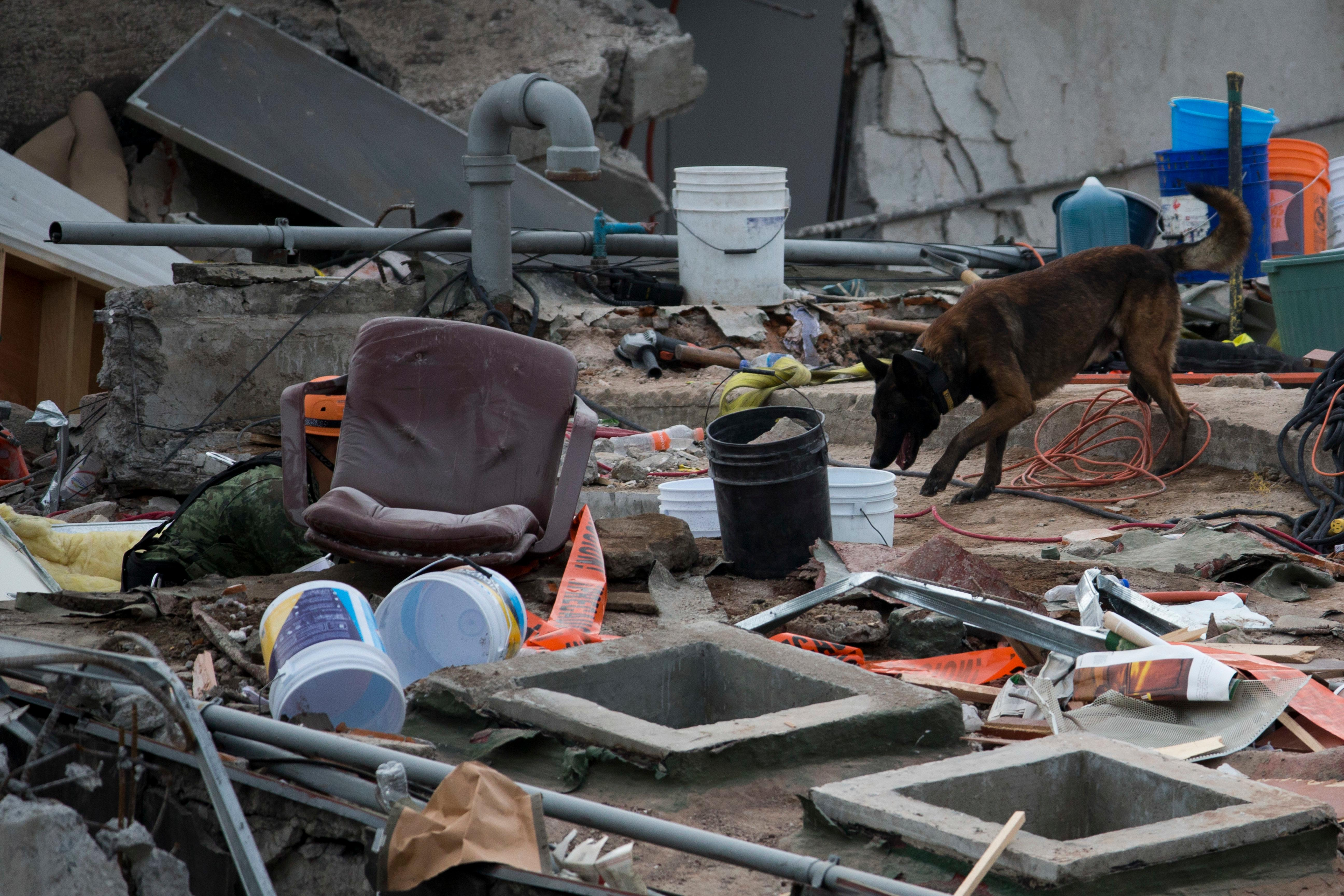 A rescue dog works on the site of a felled office building in the Roma Norte neighborhood in Mexico City, Saturday, Sept. 23, 2017. As earthquake rescue operations stretched into Day 5, Mexico City residents throughout the city held out hope that dozens still missing might be found alive. (AP Photo/Moises Castillo)