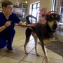 3-legged dog injured in shooting searching for new home