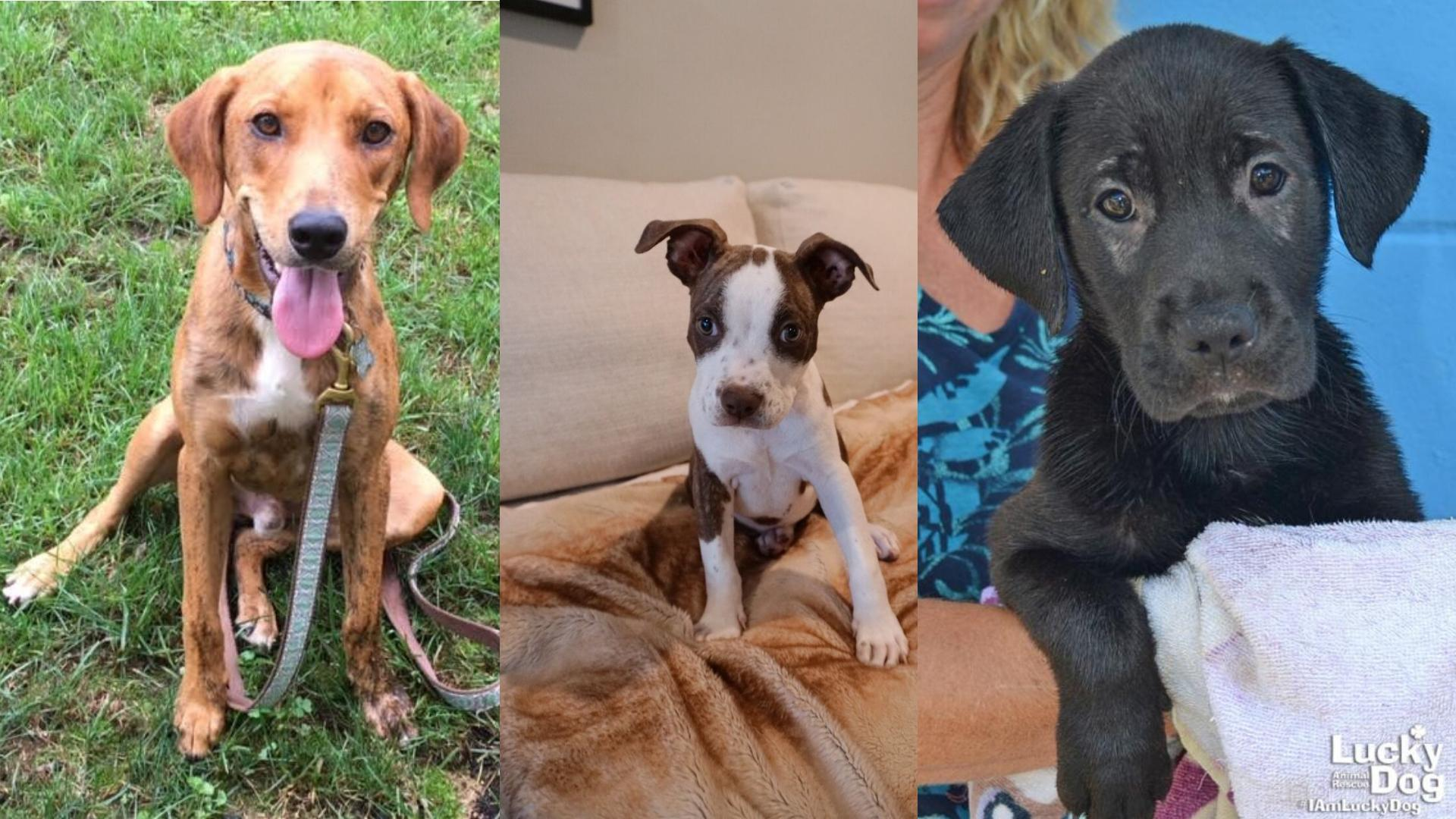 The following animals were all rescued from areas affected by Hurricane Florence, and are in temporary foster homes in the DMV area. They will all be at adoption events this weekend, but if they aren't adopted by Sunday, they will need new foster home placement. If you can help with fostering, please contact Lucky Dog Animal Rescue:{ } fostering@luckydoganimalrescue.org (Image: Courtesy Lucky Dog Animal Rescue){ }