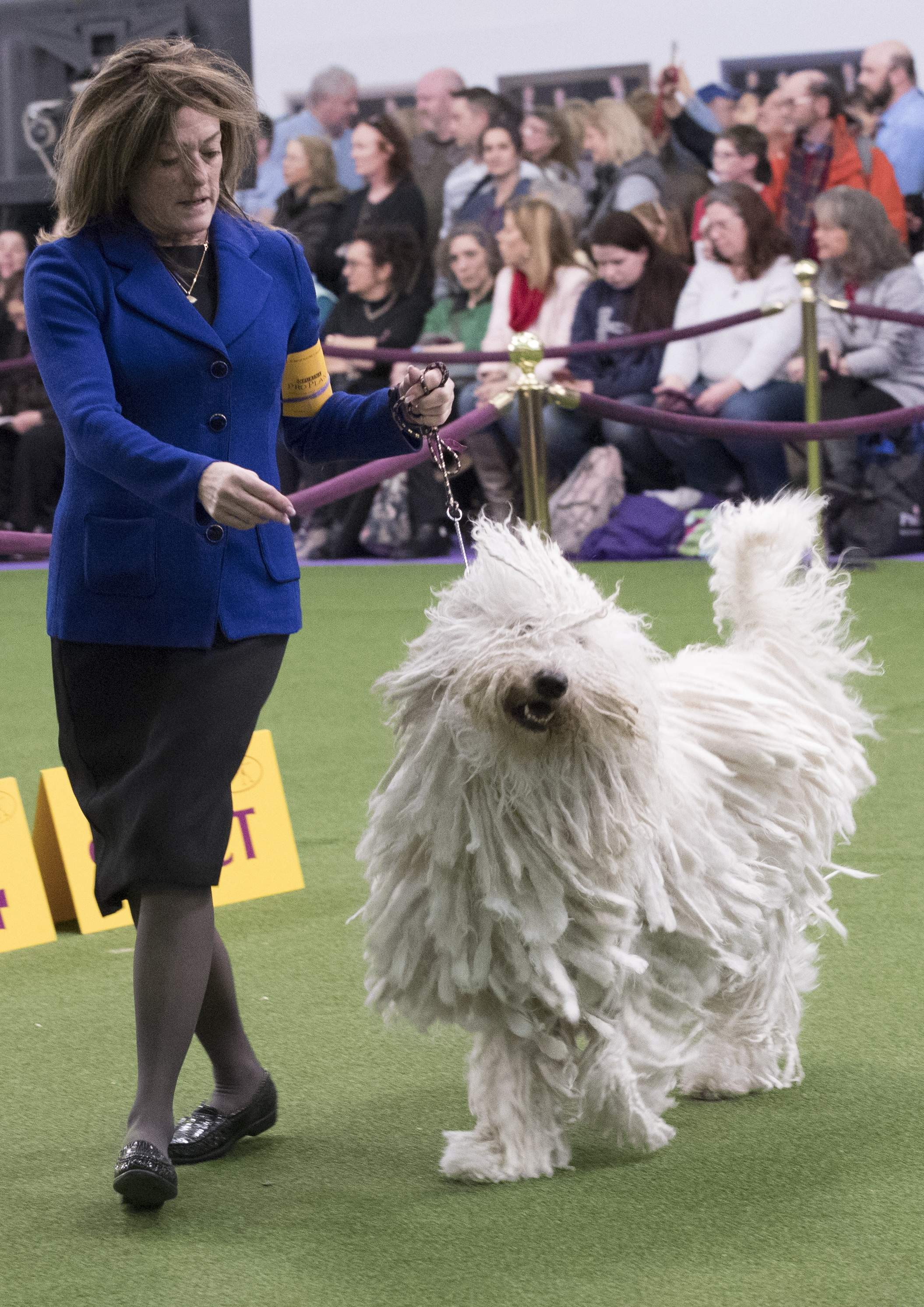 Nina Fetter present Betty Boop, a Komondor, in the ring during the 141st Westminster Kennel Club Dog Show, Tuesday, Feb. 14, 2017, in New York. THE ASSOCIATED PRESS