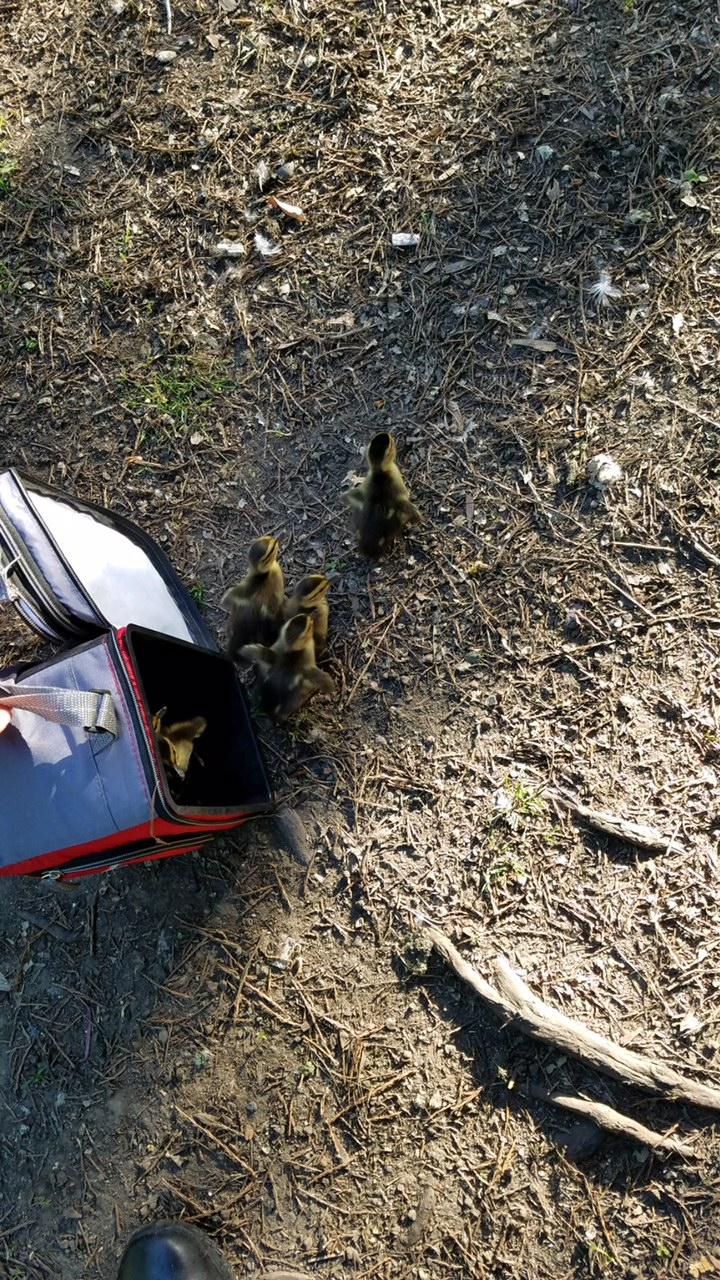 Springfield Police rescued baby ducklings from a storm grate along Interstate 5 on Mother's Day morning. (SPD)