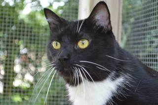 Seth- is a domestic shorthair mix
